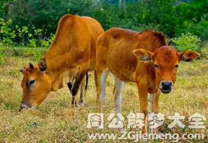 孕婦夢見黃牛.png