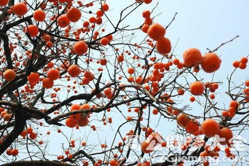 梦见柿子树.jpg