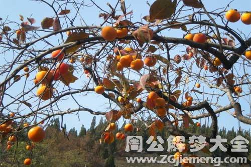 孕妇梦见柿子树