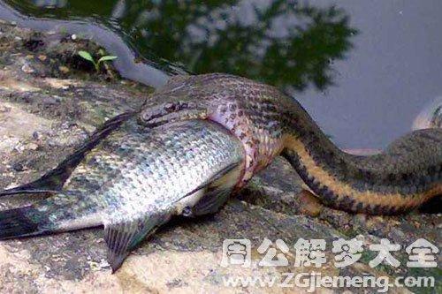 孕妇梦见蛇吃鱼