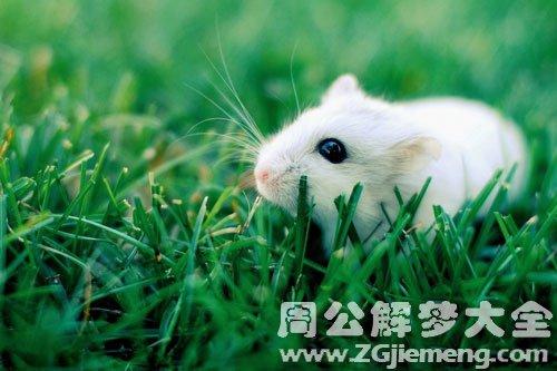 孕妇梦见小白鼠