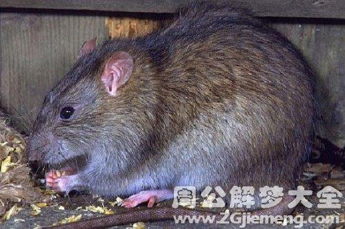 梦见臭水沟有很多老鼠