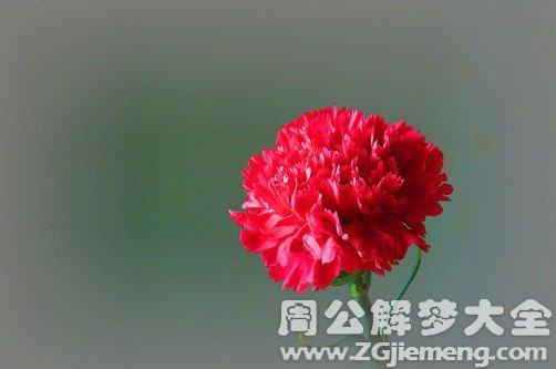 梦见红色康乃馨