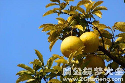 柚子树上结满柚子