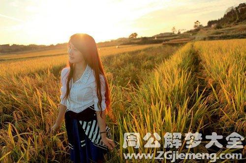 稻田里的稻谷熟了