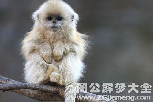 孕妇梦见猴子生男孩
