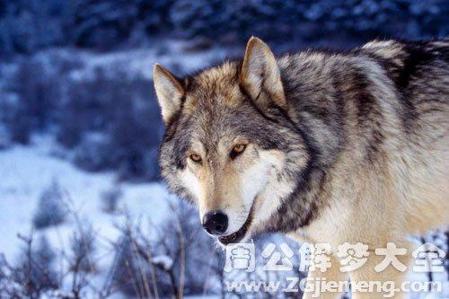 狼变成男人