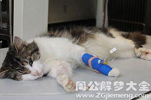 梦见一只受伤的猫