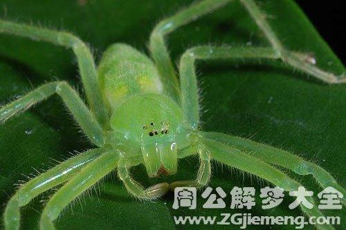孕妇做梦梦见蜘蛛_梦见绿色的蜘蛛是什么意思_梦到绿色的蜘蛛好不好_大鱼解梦网