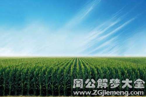 夢見玉米地綠油油的