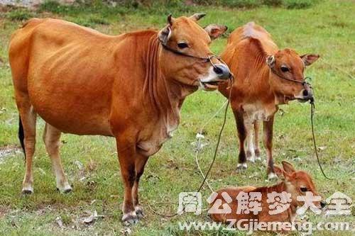 梦见牛攻击我