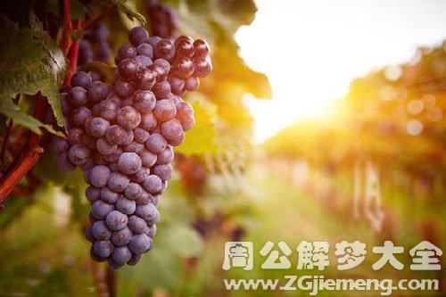 从树上摘葡萄吃
