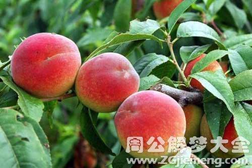 梦见树上结了好多桃子