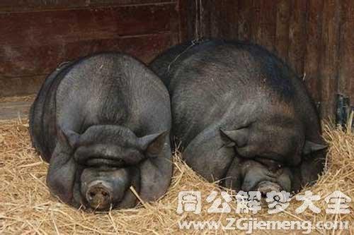 梦见被猪追咬