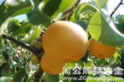 從樹上摘梨吃