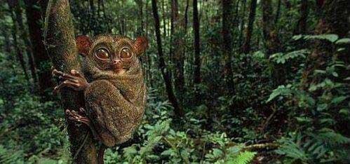 邦加眼鏡猴