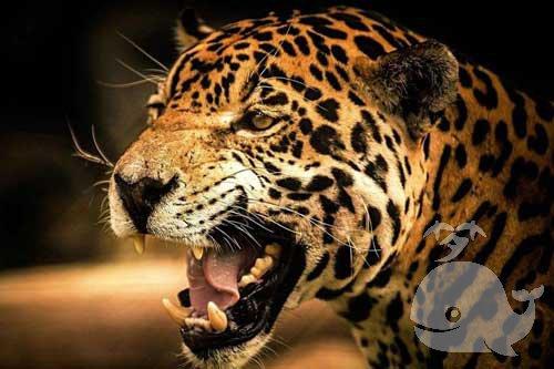 梦见豹子是什么预兆