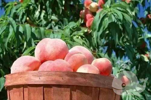 梦见偷桃子吃