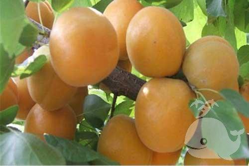 夢見樹上結滿杏子