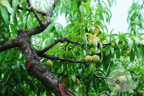 孕妇梦见满树的桃子
