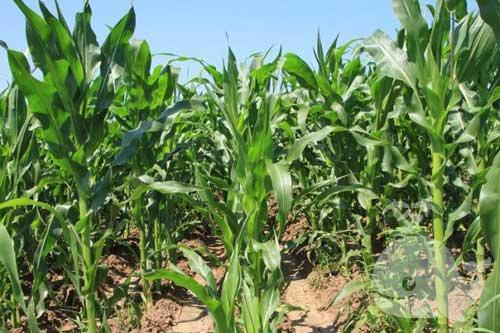 梦见绿油油的玉米地