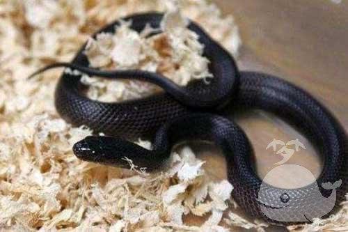 两条黑色蛇