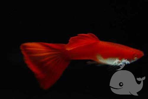 梦见放生红色的鱼