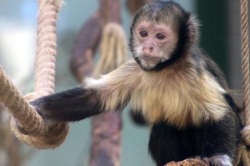 梦见猴子快要生小猴