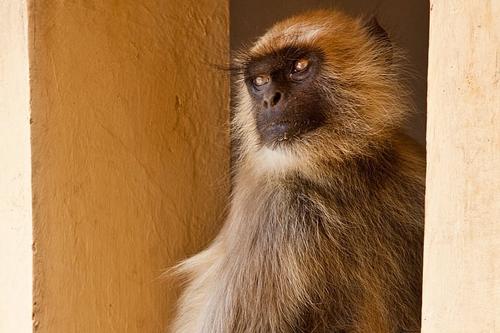 梦见家里有只小猴子