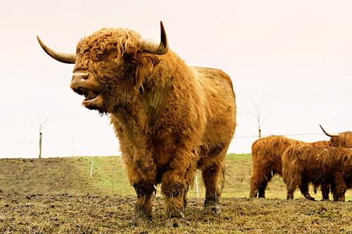 梦见别人家里有牛