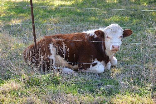 家里牛失踪