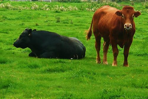 梦见猪牛到处跑