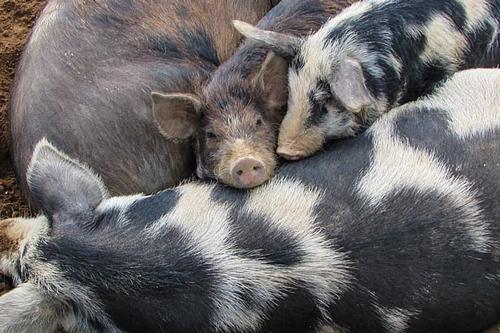 梦见大黑母猪带着一群小猪