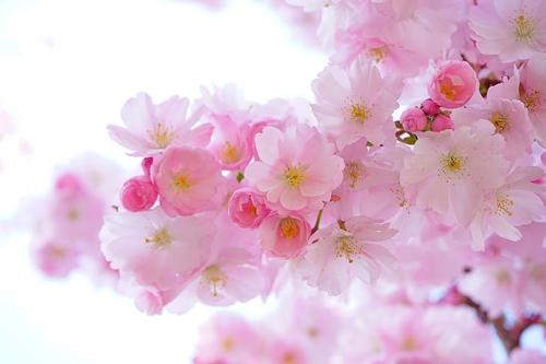 梦见好多树开白花