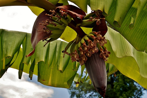 梦见香蕉树树皮