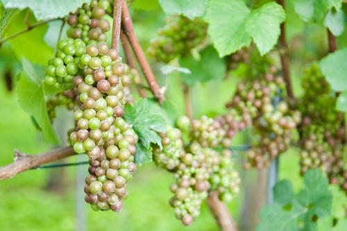 梦见在地里摘熟葡萄