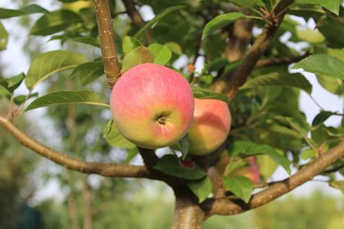 梦见坟墓边上有苹果