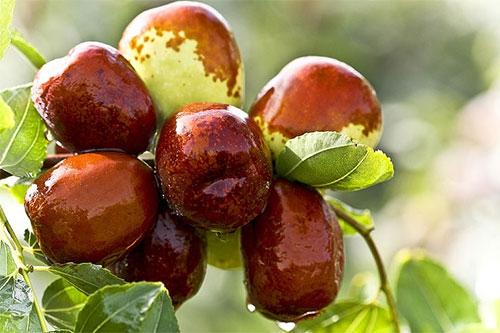 梦见从树上摘枣吃